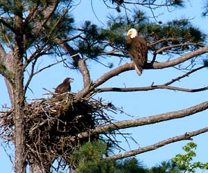 adult bald eagle and approximately seven-week-old eaglet at the nest