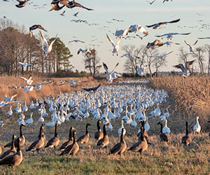 Canada and snow geese feeding on managed cropland