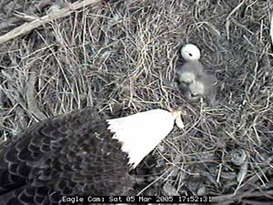 Blackwater Eagle Cam chicks