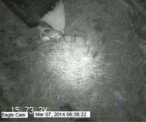 infrared technology showing the night view of a female eagle feeding her chicks on the Eagle Cam