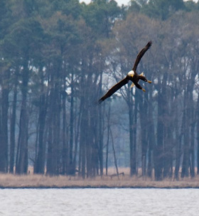 bald eagle fishing over the Blackwater River