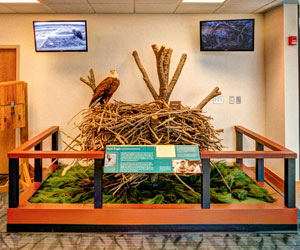 eagle nest exhibit at the Visitor Center