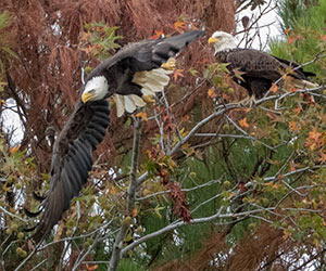 bald eagles in a tree at Blackwater NWR