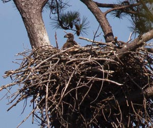bald eaglet in nest