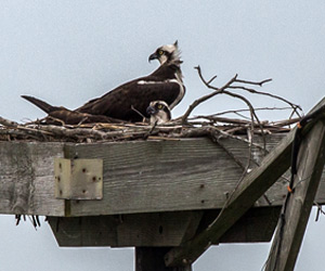 adult ospreys incubating eggs at the Blackwater NWR Osprey Cam nest
