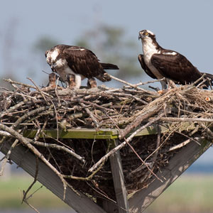 osprey family at nest along the Wildlife Drive