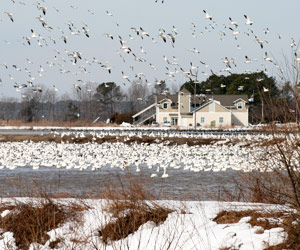 thousands of snow geese near the Blackwater NWR Visitor Center